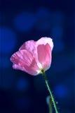 Pavot de maïs rose sur bleu-foncé Photos libres de droits