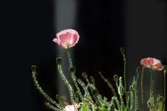 Pavot de maïs rose sur l'obscurité Photo libre de droits