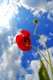 Pavot de source Image libre de droits