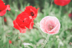 Pavot doux dans le jardin Photo libre de droits