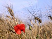 Pavot et blé Images libres de droits