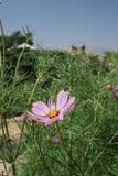 Pavot et ciel pourpres de floraison photos stock