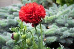 Pavot fleuri multi Papaver somniferum dans un jardin botanique avec le sapin bleu ? l'arri?re-plan photographie stock libre de droits