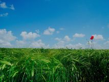 Pavot la plaine Image libre de droits