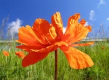 Pavot orange Images libres de droits