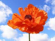 Pavot orange photo stock