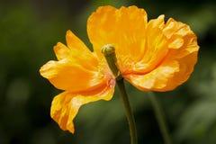 Pavot orange Photographie stock