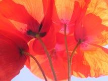 Pavot orange Photos stock