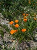 Pavot orange de la Californie au sol Images libres de droits