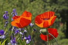 Pavot oriental au printemps, orientale de pavot Photographie stock