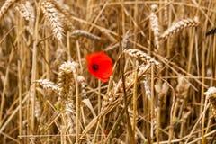 Pavot parmi le blé Photographie stock