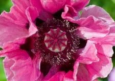 Pavot rose Photo libre de droits