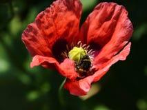 Pavot rose photos libres de droits