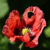 Pavot rose images libres de droits