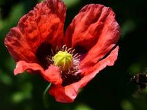 Pavot rose photographie stock