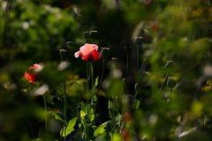 Pavot rose photographie stock libre de droits