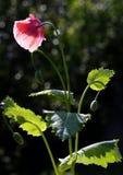 Pavot rose photo stock