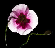 Pavot rose Image stock