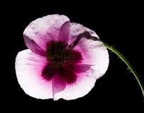 Pavot rose Photos stock