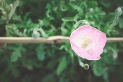 Pavot rose doux dans le jardin Photos libres de droits