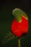 Pavot rouge Photographie stock