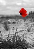 Pavot rouge Photo stock