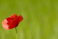 Pavot rouge Photographie stock libre de droits