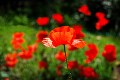 Pavot rouge Images libres de droits