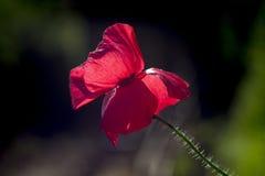 Pavot rouge Photos stock