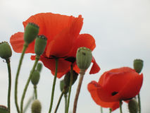 Pavot rouge image stock