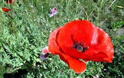 Pavot rouge annuel Photos libres de droits