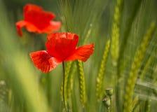 Pavot rouge avec le foyer sélectif Photographie stock libre de droits
