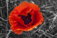 Pavot rouge-clair Images libres de droits