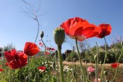 Pavot rouge dans le ciel bleu Photographie stock