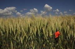 Pavot rouge dans le domaine de maïs d'or avec le ciel bleu image stock