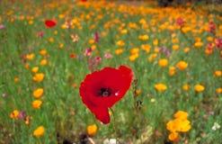 Pavot rouge dans un domaine des pavots de Californie jaunes Photo libre de droits