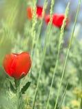 Pavot rouge dans une herbe verte dense Photographie stock libre de droits