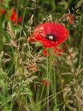 Pavot rouge dans une herbe verte dense pendant le matin Photographie stock libre de droits