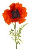 Pavot rouge de floraison simple photos stock