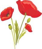 Pavot rouge de floraison sur le blanc Photographie stock