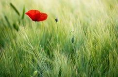 Pavot rouge ensoleillé sur un fond d'un champ de blé Photos libres de droits
