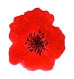 Pavot rouge lumineux Image libre de droits