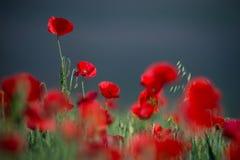 Pavot rouge sauvage, tir avec une profondeur de foyer, sur le blé Fie Images libres de droits