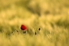 Pavot rouge sauvage, tir avec une profondeur de foyer, sur un champ de blé jaune Photographie stock