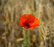Pavot rouge simple Images libres de droits