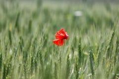 Pavot rouge solitaire dans le domaine du blé Images libres de droits
