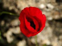 Pavot rouge sur le champ vert dans le printemps Image stock