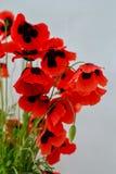 Pavot rouge sur un fond blanc image stock