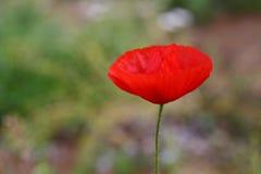 Pavot sauvage rouge Image libre de droits