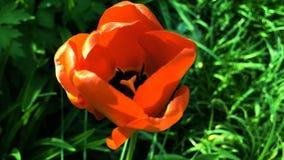 Pavot soyeux au printemps photographie stock